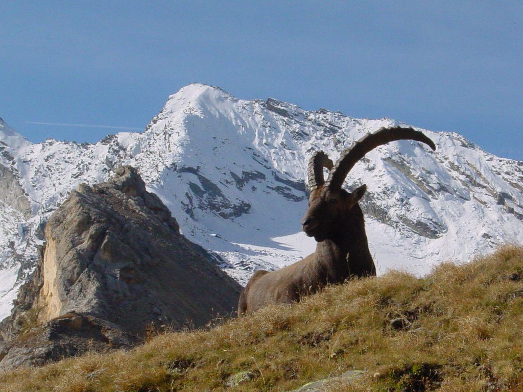 Capra ibex gran paradiso